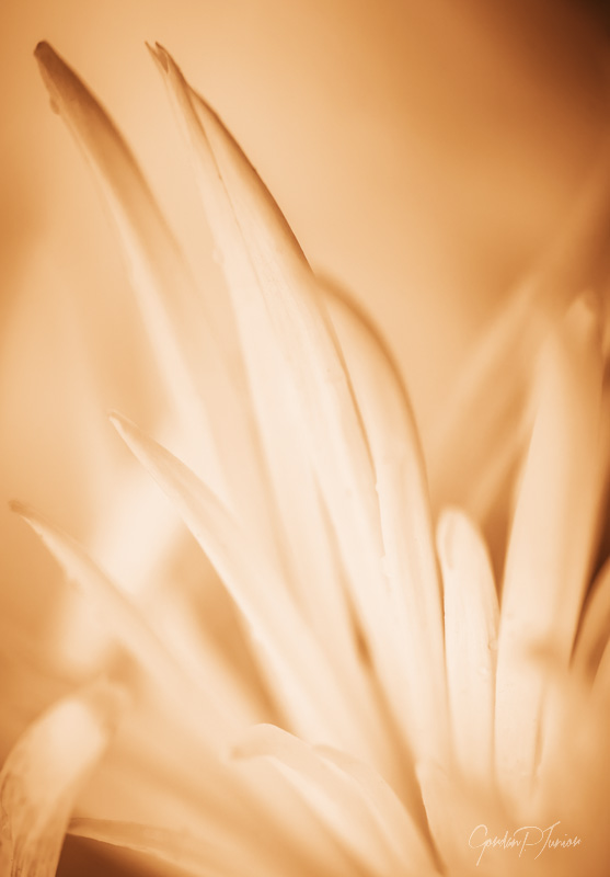 Gentle Flower - Close up of flower, art prints