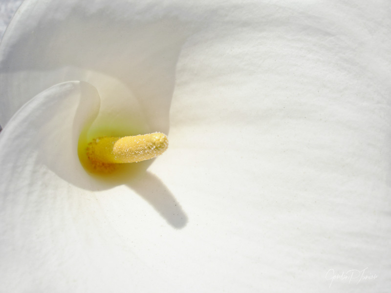 Calla Lily Abstract - Close up of flower, shallow DOF artistic toned art prints