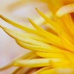 Spring Flower - Close up of flower, shallow DOF Art Prints