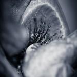 Poppy Flower Monochrome - Close up of poppy, shallow DOF
